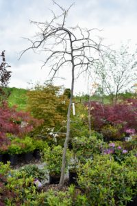 This is a 'Vanilla Twist' Weeping Redbud, Cercis canadensis - a captivating small tree that shows off a canopy of beautifully cascading branches of white blooms in early spring.
