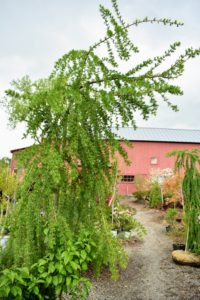 Here is a nine-foot larch, Larix K 'Varied Directions' - a vigorous and spreading grower with robust twigs that propel branches up and out in varied directions.