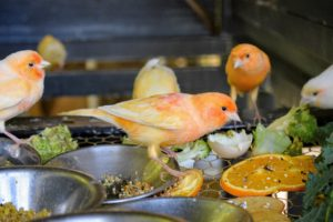 These birds relish a fresh diet. When hatched, canaries are pale yellow-peach or orange. As they grow, they develop more red coloring from the beta carotene in their foods. On this canary, you can see three pretty color shades - peach, red and orange.