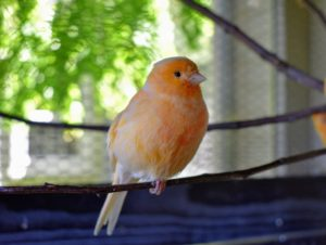 Named after its beautiful plumage, the red factor canary, Serinus canaria domestica, is one of the most popular canary breeds.