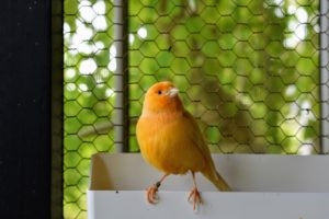 If you choose to keep canaries, be sure to get the largest cage your budget allows, so they have ample room to exercise, spread their wings and perch on different levels and surfaces.