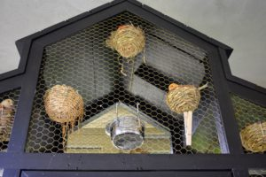 Breeding usually occurs in the spring. The canaries like to breed when the temperature is around 70-degrees Fahrenheit and there are about 14-hours of light. Look closely and all these nests are occupied by sitting hens.
