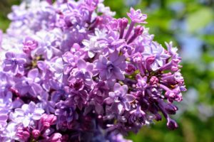 Lilacs appear from mid-spring to early summer just before many of the other summer flowers blossom.
