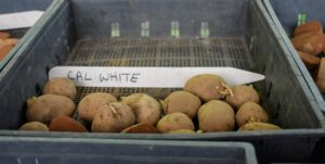 'Cal White' is a long, white-fleshed potato with white skin. It is an excellent producer and will yield lots of large potatoes.