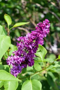 The lilacs also bloomed nicely this season. Lilacs come in seven colors: violet, blue, lilac, pink, red, purple and white. The purple lilacs have the strongest scent compared to other colors.