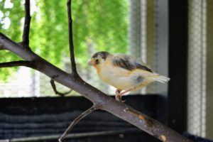 The branches are also changed often. Canaries do not need special toys like some other birds, but they do need strong perches with multiple branches.