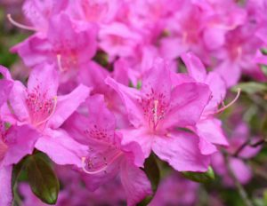Azaleas are generally healthy, easy to grow plants. Some azaleas bloom as early as March, but most bloom in May with blossoms lasting several weeks.