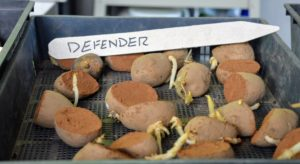'Defender' potatoes are late season potatoes suitable for frying and excellent as a fresh market baker.