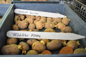"'Yellow Finn' potatoes have an unusual pear shape, deep yellow-tan skin, and waxy yellow flesh. A buttery taste that is good boiled, baked, fried or included in soups. ""Yukon Blush' is an excellent yellow variety. It produces uniform, round tubers with yellow skin and small red eyes. This is a great substitution for 'Yukon Gold'."