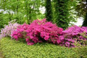 Many azaleas have two to three inch flowers and range in a variety of colors from pink to white to purple, red, orange and yellow.