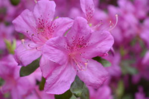 Keep azaleas where they can be protected from midday and winter sun to prevent leaves from drying out and burning.