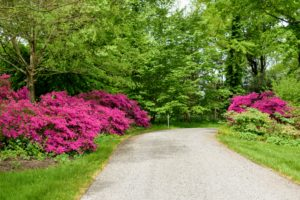 Every year around this time, I love walking up the carriage road near my Summer House to see the beautiful blooming azaleas at the corner.