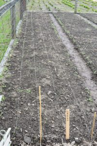 In all, we designated four long beds for this crop - one for yellow onions, one for white, one for red, and one for a few leek varieties.