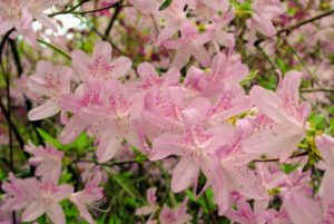 Azaleas are native to several continents including Asia, Europe, and North America. These plants can live for many years, and they continue to grow their entire lives.