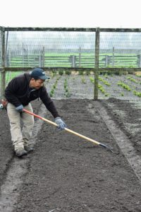 The raised beds are raked until they are perfectly level. Raised beds warm more quickly in springtime and maintain better aeration and drainage.