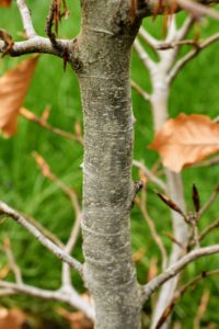 European beech trees are known for the smooth silvery gray bark.