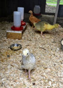These youngsters - a peachick in front, and a goose and chicken in back, recently moved down to a brooder in one of the coops. They are about a week and a half older than the others in my home.