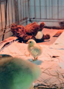 The two goslings are joined by this chick, which also hatched in my Brinsea incubator. It is a small breed chicken, so it is quite tiny now, but very alert and fearless next to its bigger friends.