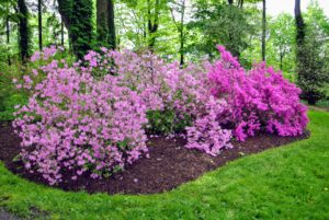 Azalea blooms produce a light, floral scent. I love the varying shades of light and dark pink in this garden.