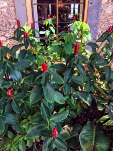 Just outside the Stone House front window is this red button ginger, Costus woodsonii, with vibrant red torpedo-shaped inflorescences rising above the lush green foliage.