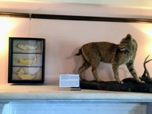 On the opposite side of the room is the Florida bobcat - this is a taxidermy specimen donated to the Deering Estate for educational purposes. Other bone and shell artifacts from the area are displayed on the left.