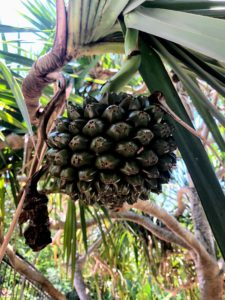 Pandanus fruit consists of segments called cones or keys. Each fruit may have more than 100-keys. The juice tastes like a mixture of sugar cane and mango with a thick nectar-like texture.