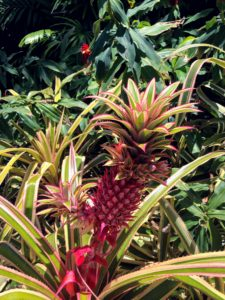 You may recognize this - an ornamental pineapple. This is a bromeliad grown more for its foliage, not for its fruit. The gorgeous bright red, green and cream striped leaves are held rigidly off a low stem. Their bright fruit is attractive but rather bitter. The plants make lovely and interesting houseplants, or warm season potted outdoor plants.