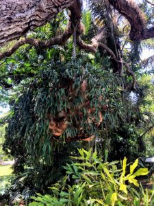 Nearby, we saw this massive staghorn fern hanging from a live oak tree limb - it is so huge and beautiful.