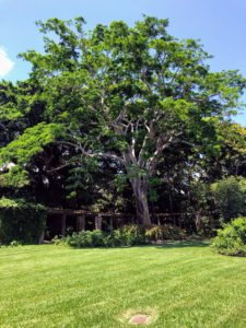 And here is Fairchild's tallest tree, Albizia niopoides var. niopoides, collected by David Fairchild himself. This type of tree grows up to 100-feet tall with a wide-spreading crown - so stunning. Fairchild Tropical Botanic Garden has magnificent collections - please visit the next time you're in South Florida - you'll love it.