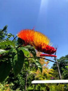 This is called monkey brush, Combretum aubletii. Monkey brush, or monkey brush vine, is an exotic plant native to South America. Monkey brush has flowers that change color from yellow to a deep orange-red.