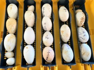 Whenever an egg comes up from the coop, we label it with the kind of egg it is and the date it was placed in the machine, so we can gage approximately when it will hatch.