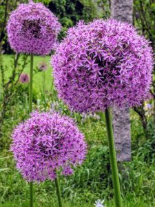 Alliums come in many sizes, from inch-wide heads to large ball-sized bloom clusters.