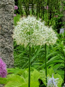 Alliums are among the most carefree bulbs you can grow, blooming in a wide range of colors, including purple, white, pink, and even yellow.