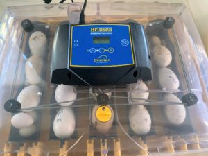 Watching the eggs hatch is exciting for everyone at the farm. There are several crucial conditions needed for proper embryo development in all birds. These factors include: proper temperature, controlled humidity, and sufficient air circulation. Brinsea provides a complete handbook with instructions and tips available on its web site. https://www.brinsea.com/