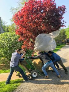 Next, the crew carefully wheels the two trees into the garden using a large hand truck that is able to carry the weight of the trees.