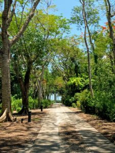 Here is the main pathway to the estate. This pathway is lined with royal poinciana trees, Delonix regia, native wild coffee plants, and native gumbo limbo trees, Bursera simaruba.