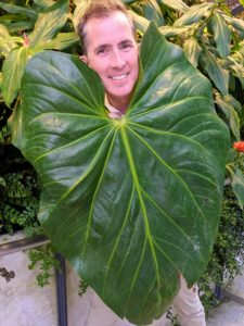 Here is Kevin behind another large leaf plant to show scale. This is Anthurium faustomirandae - a large growing plant with giant heart-shaped leaves. The leaves can measure up to three feet long and two to three feet wide. Each leaf is very tough and thick, almost like cardboard.