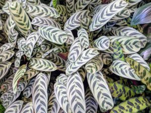 Ctenanthe Burle Marxii is commonly known as the fishbone prayer plant - a species of plant in the genus Ctenanthe native to Brazil. Its common name derives from the alternating pattern of stripes on its oval, pale green leaves.