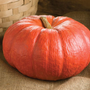 "This variety is known as 'Rouge vif d'Etampes' in France. ""Rouge vif"" means ""vivid red."" This is an attractive pumpkin - flat, almost like a red cheese wheel. The fruits average 10 to 15 pounds each and the moderately sweet, orange flesh is great for pies. (Photo from Johnny's Selected Seeds)"