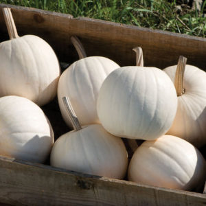 We also planted several 'Snowball' pumpkins, These are attractive, smooth-rind, small, round fruits. They are also bright white with dark green stems. (Photo from Johnny's Selected Seeds)