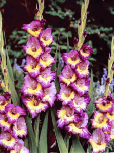 This one provides an explosion of color in the garden. It is called 'Dynamite' and has purple flowers with creamy yellow throats. (Photo courtesy of Brent and Becky's)
