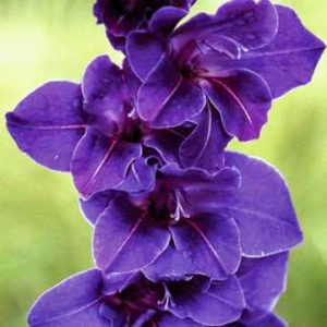 'Violetta' has rich royal purple flowers with tiny white veins in the center of each petal. (Photo courtesy of Brent and Becky's)