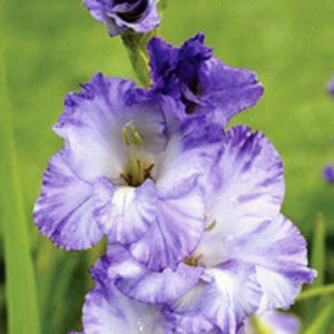 Gladiolus 'Costa' is pale to dark blue fading to white. The blooms also have a bit of a ruffle around the edges. Gladiolas begin blooming in late summer when many other flowers are starting to fade. Their flower spikes stand tall among other plants, adding both color and vertical interest in the garden. (Photo courtesy of Brent and Becky's)