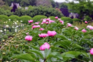 And by late May, the first peonies were up. Roy Klehm's is a plant source I've used for many years - I've been so pleased with the growth and stunning displays of color. http://www.songsparrow.com