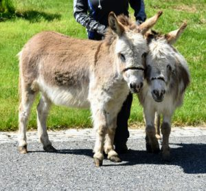 Here are the two outside just after visiting their new paddock. Donkeys are happiest when they are with their friends - these two will never be far apart.