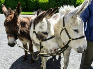It's haircut day for my sweet donkeys Rufus, Billie and Clive. They get clipped in late spring so they're more comfortable during the warm, humid months of summer.