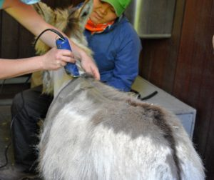 Helen starts with the small clippers on the back of the neck as Dolma sits nearby to offer support.