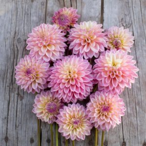 And Dahlia 'Castle Drive' has a soft blend of pink and yellow - great in arrangements and gardens. This plant is also very attractive to bees and butterflies. (Photo courtesy of Floret)