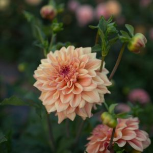 'Ferncliff Copper' features smoky-peach blooms that last all season long. (Photo courtesy of Floret)