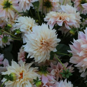 Among some of the Floret varieties we received - 'Cafe Au Lait' - Floret's number one most requested variety this season. It has massive dinner plate-sized blooms in an unusual blend of pale creamy blush. (Photo courtesy of Floret)